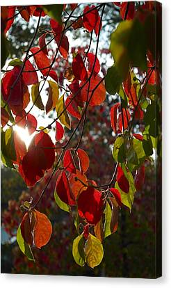 Autumn Dogwood In Evening Light Canvas Print by Michele Myers