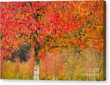 Autumn Fire Canvas Print by Sonya Lang