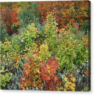 Autumn Foliage Killarney Provincial Park Canvas Print by Tim Fitzharris