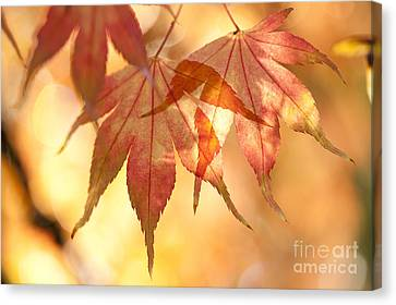 Autumn Glow Canvas Print by Anne Gilbert
