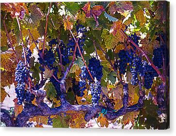 Autumn Grape Harvest Canvas Print by Garry Gay