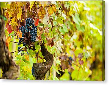Autumn Grape Harvest Season Canvas Print by Susan Schmitz
