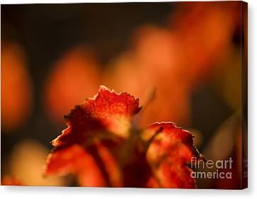 Autumn Grape Leaf Macro Canvas Print by Charmian Vistaunet