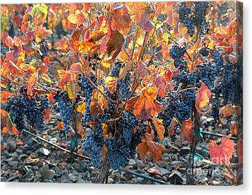 Vintner Canvas Print - Autumn Grapes by Carol Groenen