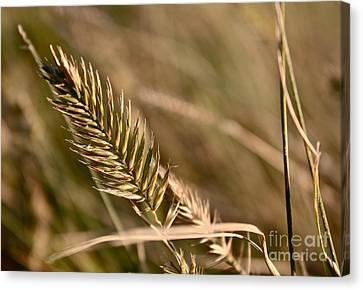 Autumn Grasses Canvas Print by Linda Bianic