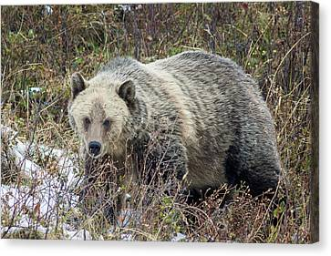Canvas Print featuring the photograph Autumn Grizzly by Jack Bell