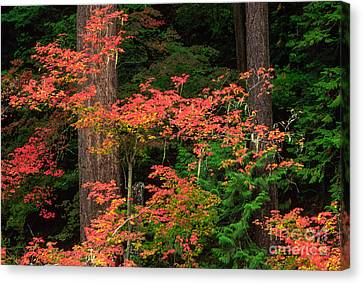 Maple Season Canvas Print - Autumn In Mount Rainier Forest by Inge Johnsson
