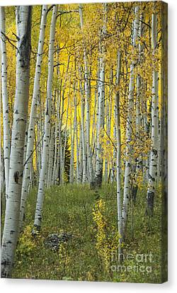 Autumn In The Aspen Grove Canvas Print