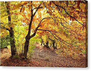 Autumn Is Coming Canvas Print by Goyo Ambrosio