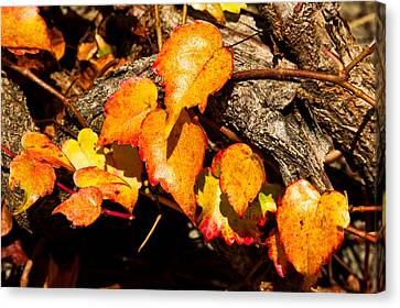 Autumn Ivy Canvas Print by Crystal Hoeveler