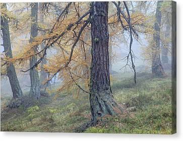 Autumn Larch And Fog Alps, Switzerland Canvas Print by Heike Odermatt