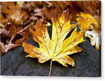 Autumn Leaf Canvas Print by Crystal Hoeveler