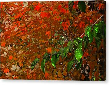 Autumn Leaves In Red And Green Canvas Print by Andy Lawless