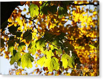 Canvas Print featuring the photograph Autumn Light In Leaves by Lincoln Rogers
