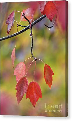 Southern Indiana Autumn Canvas Print - Autumn Maple - D008640 by Daniel Dempster