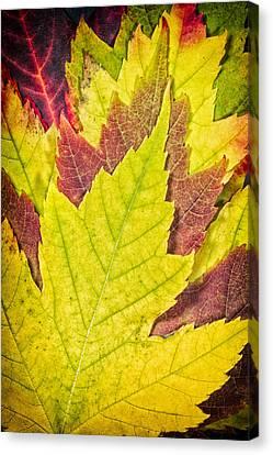 Autumn Maple Leaves Canvas Print by Adam Romanowicz