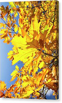Autumn Maple Leaves Canvas Print by Ashley Cooper