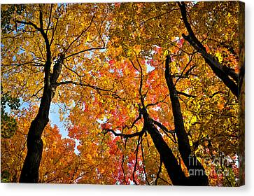 Autumn Maple Trees Canvas Print by Elena Elisseeva