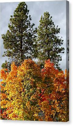 Autumn Maple With Pines Canvas Print by Will Borden