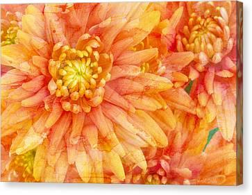 Autumn Mums Canvas Print by Heidi Smith