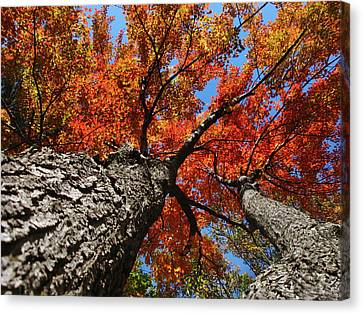 Autumn Nature Maple Trees Canvas Print by Christina Rollo