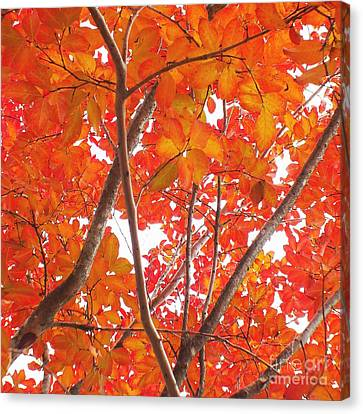 Autumn Orange Canvas Print by Scott Cameron