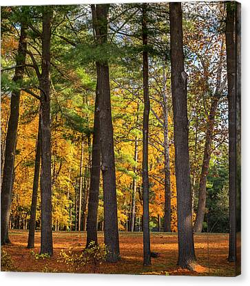 Autumn Pines Square Canvas Print by Bill Wakeley