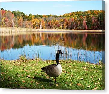 Canvas Print featuring the photograph Autumn Pond Goose by Aimee L Maher Photography and Art Visit ALMGallerydotcom