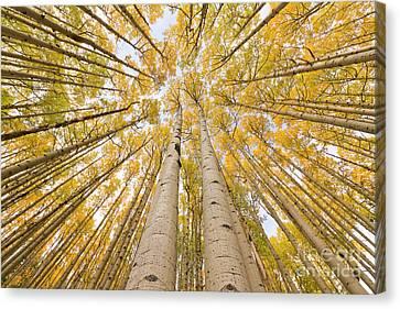 Populus Tremuloides Canvas Print - Autumn Quaking Aspen Rocky Mts Colorado by Yva Momatiuk and John Eastcott