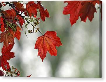 Autumn Red Canvas Print by Karol Livote