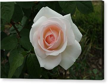 Blending Canvas Print - Soft Pink Elegance Rose...   # by Rob Luzier