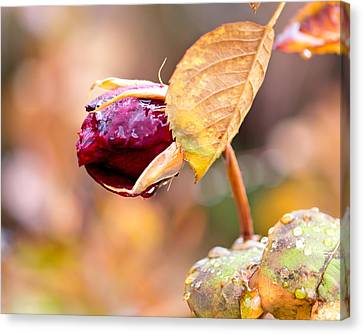 Canvas Print featuring the photograph Autumn Rosebud by Rona Black
