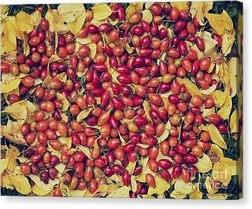 Autumn Rosehips  Canvas Print by Tim Gainey