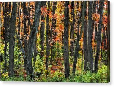 Autumn Sugar Maple, Yellow Birch And Canvas Print by Thomas Kitchin & Victoria Hurst