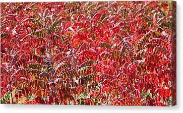 Autumn Sumac Canvas Print by James Hammen