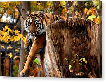 Canvas Print featuring the photograph Autumn Tiger by Elaine Manley