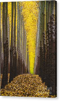 Autumn Trees Canvas Print by Vishwanath Bhat