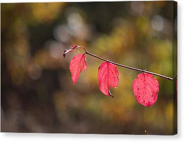 Canvas Print featuring the photograph Autumn Twig With Red Leaves by Jivko Nakev