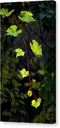 Autumn Vine Canvas Print