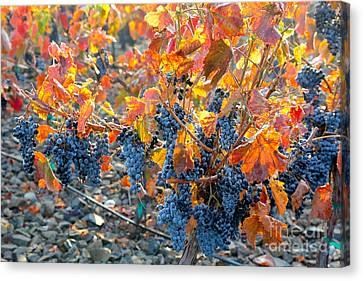 Autumn Vineyard Sunlight Canvas Print