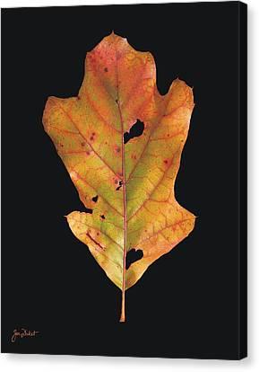 Autumn White Oak Leaf Canvas Print