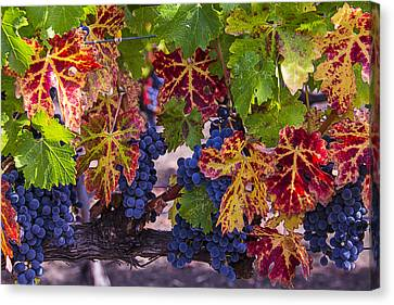 Autumn Wine Grape Harvest Canvas Print by Garry Gay