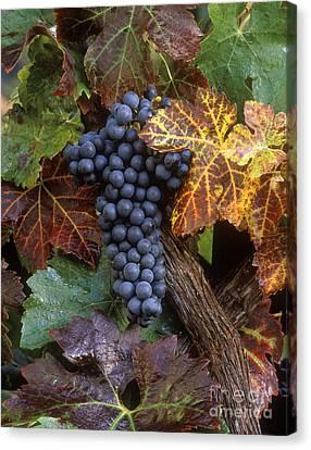 Autumn Zinfandel Cluster Canvas Print by Craig Lovell