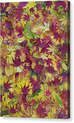 Autumnal Acer Leaves Canvas Print by Tim Gainey