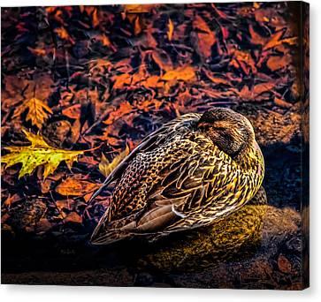 Mallard Duck Canvas Print - Autumns Sleepy Duck by Bob Orsillo