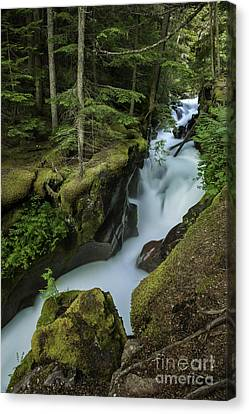 Avalanche Creek Under The Giant Cedars Canvas Print by Thomas Schoeller