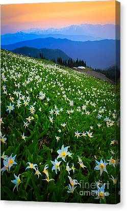 Northwest Canvas Print - Avalanche Lily Field by Inge Johnsson