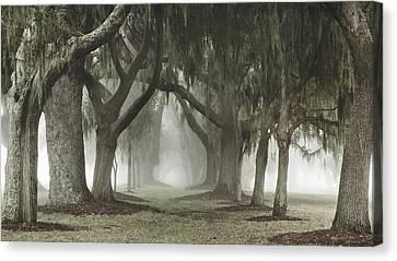 Avenue Of Oaks Canvas Print by Barbara Northrup