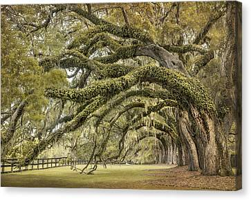 Live Oaks Canvas Print - Avenue Of Oaks by Magda  Bognar