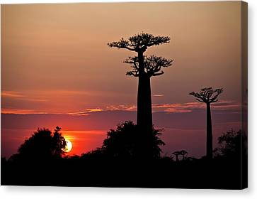 Avenue Of The Baobabs, Madagascar Canvas Print